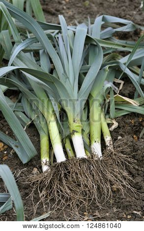 Freshly lifted leeks allium ampeloprasum in a vegetable garden variety Musselburgh.