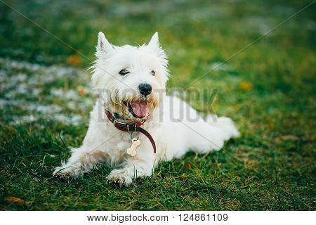 West Highland White Terrier - Westie, Westy Dog Sit in Grass