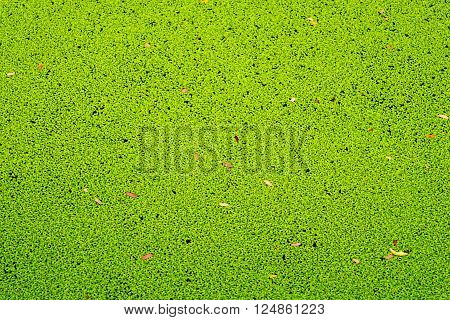 Texture or background of duckweed in the canal,Thailand.