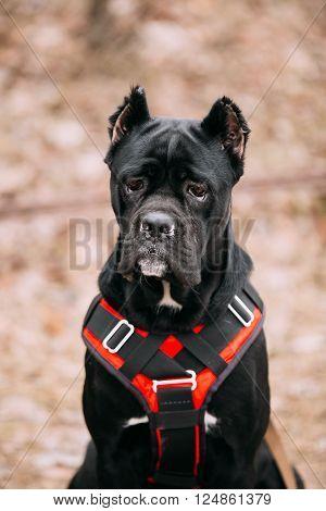 Close up of Black Young Cane Corso Puppy Dog. Big dog breeds