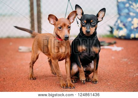 Two Lovely Brown And Black Miniature Pinschers Pinchers Staying Together On Red Floor