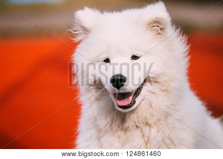 Close Up Of Happy Smiling Young White Samoyed Dog.