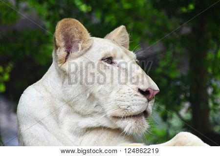Young White Lioness Profile In Zoo Close Up
