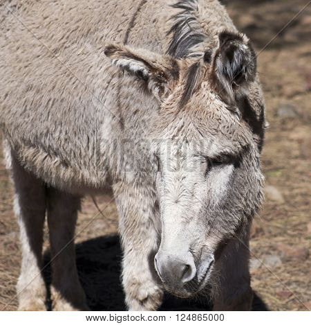 A Close Portrait of a Donkey Burro or Ass