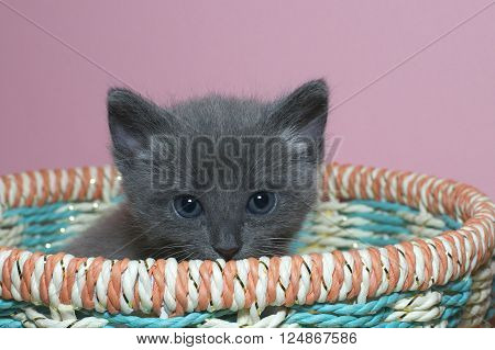 Fuzzy Fluffy Gray 4 Week Old Tabby Kitten Peaking Over The Top Of A Multi Colored Spring Basket
