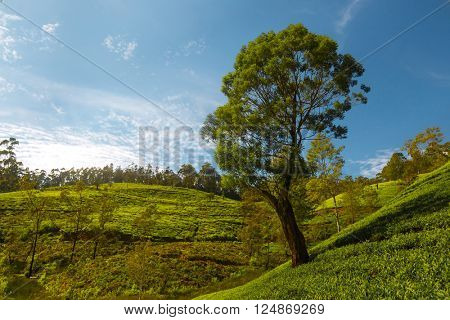 Tree stands on the hills with blue sky on the backgroung