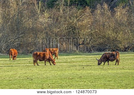 Cows and a bull graze in a field in north Idaho near Coeur d'Alene.