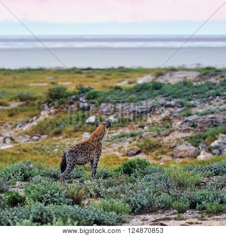 Spotted Hyena, Africa