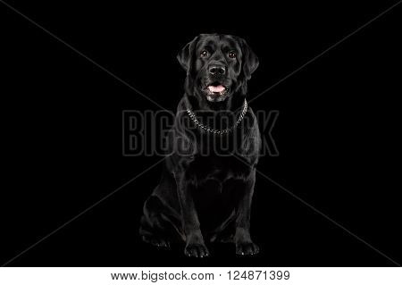 Muscle Labrador Dog Sitting in Front view Isolated on black background