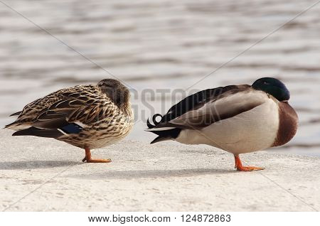 Shot of the drowsy wild duck - mallard