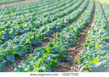 Cultivated Field: Fresh Green Salad Bed Rows