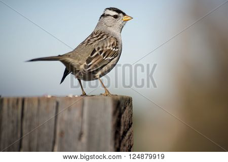 A white-crowned sparrow perches atop a fence post.