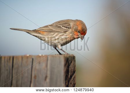 A male red finch looks down from a fence post