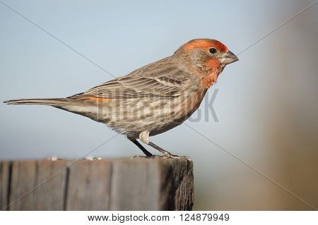 A male red finch perches on a fence post.