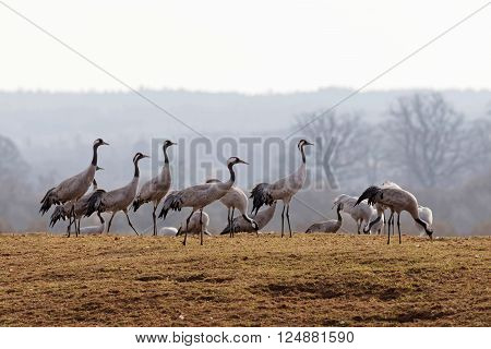Group of crane birds in the early morning light standing on the grass looking to the right resting a few days before moving on to the north of Sweden