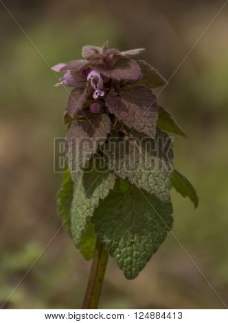 A Purple Dead-Nettle, Lamium purpureum, a native plant to Europe and Asia.  It is also know as red dead-nettle, purple dead-nettle, purple archangel, or velikdenche.