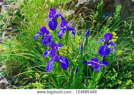 graceful blue iris flowers against a background of wildflowers in an alpine meadow
