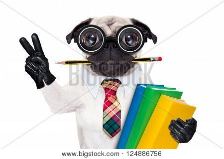 cool  school pug dog, with stack of books and pencil in mouth , victory and peace fingers ,isolated on white background