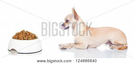 hungry chihuahua dog with food bowl , waiting and looking at it , isolated on white background
