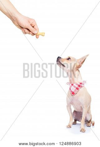 chihuahua dog getting a cookie as a treat for good behavior by his owner ,isolated on white background