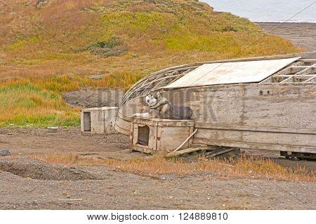 Husky and Old Boat in the Coast near Barrow Alaska on the Arctic Ocean