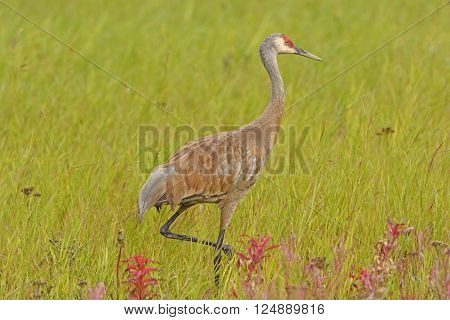 Sandhill Crane in a Meadow near Fairbanks Alaska