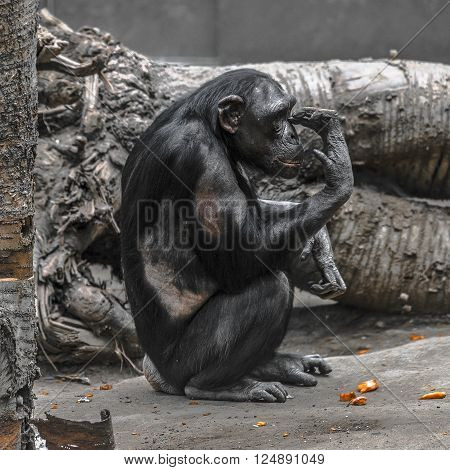 Thinking chimpanzee portrait close up Magdeburg Germany 2016