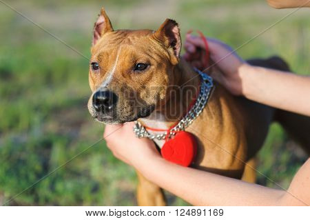 guy is going to make an offer to the girl. Attaches to the neck of the dog red box with a ring. Staffordshire terrier.