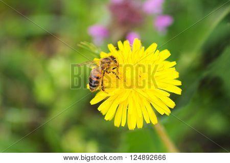 Honeybee (Apis Mellifera) on Organic Dandelion Flower (Taraxacum Officinale). Close Up.