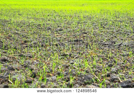 Field of rice sprouts as background. Selective focus.