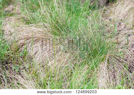 grass grows green and dry mixed in for spring