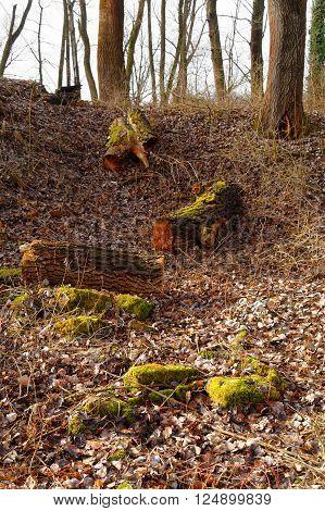 mossy felled tree trunks on the wilderness