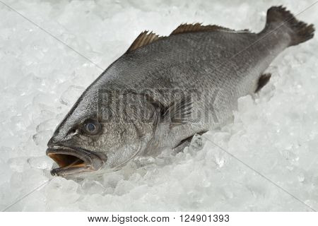Fresh raw corvina fish on ice