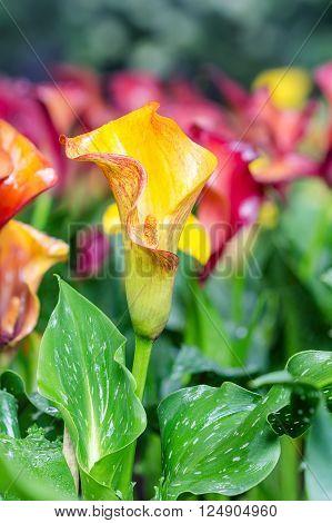 Calla lily field. Bouquet of multicolored calla lilies.
