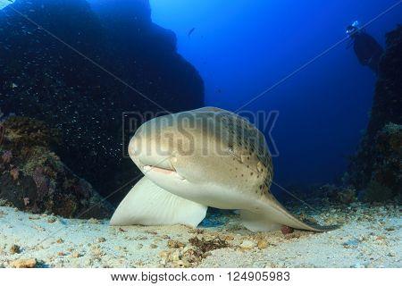 Leopard Shark and scuba diver
