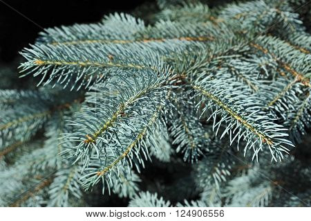 Blue Fir Tree, Close Up