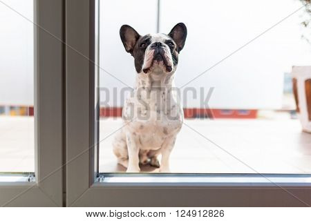French bulldog looking through the balcony window