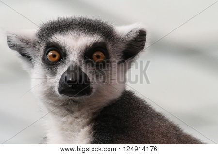 The face of an alert Lemur staring
