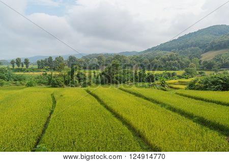 Natural green rice field in nan thailand