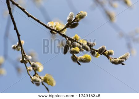 Pussy-willow blossoms, spring is coming, April 2016