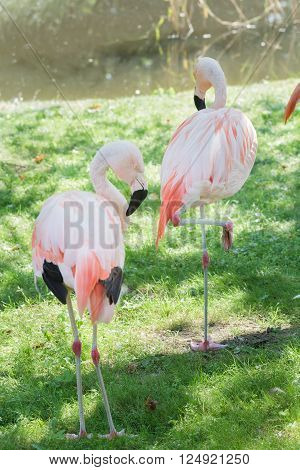 Full length portrait of two Chilean flamingos are preening itself