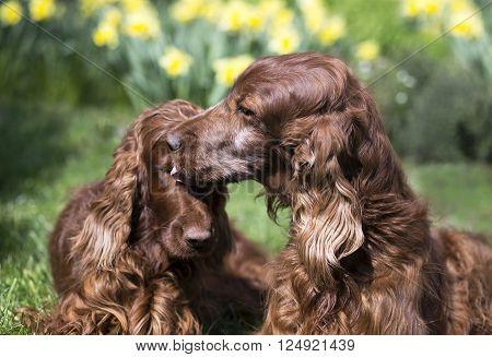Dog friendship - beautiful Irish Setter care for his friend