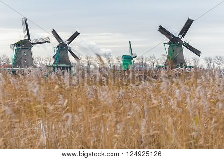 Traditional Dutch windmills and wetland dry reed seed heads are waving on wind