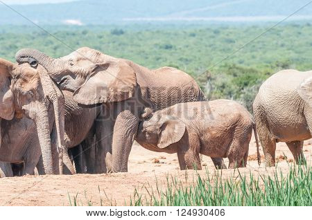 An African Elephant calf suckling while its mother interacts with other elephants