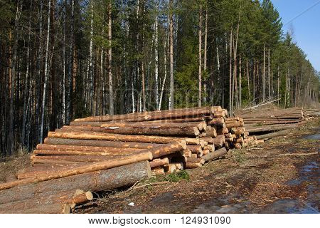 Cut down the trees. Stacks of cut trees stacked in the spring in the Northern forest. Pine wood industry. Fallen trees. Felling and cutting of forests. Supply of tree trunks.