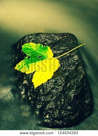 Autumn Colorful Leaf.the Colorful Broken Maple Leaf Fallen On Sunken Basalt Stone In Blurred Water O