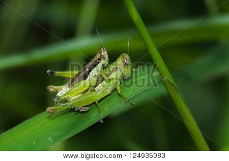 Grasshopper perching on green leaf in nature background