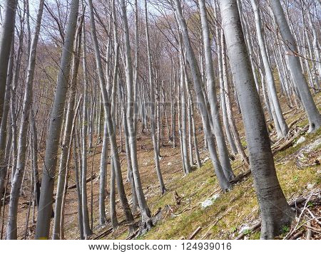 Leafless Beech Wood In The Spring