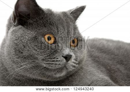 Portrait of a gray cat (breed Scottish straight) close-up. horizontal photo.
