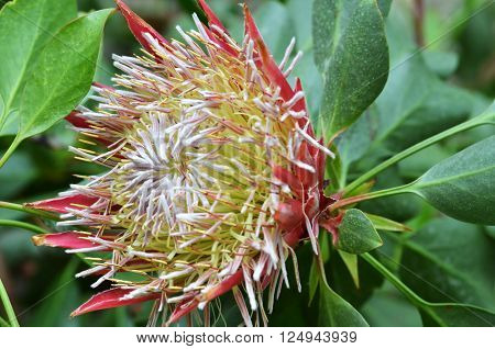 South African plant Protea cynaroides. also known with common name King Sugar Bush